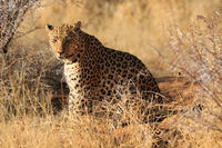 Leopard in the African bush in Namibia