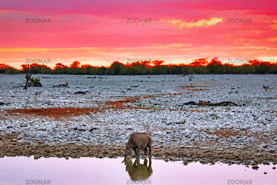 Black rhino with evening sky, Etosha National Park, Namibia, (Diceros bicornis)