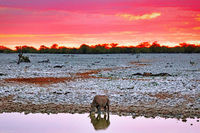 Black rhino with evening sky, Etosha National Park, Namibia, (Diceros bicornis)