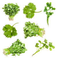collection of fresh cilantro herbs isolated