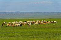 Herd of Kashmir goats in the steppe, Mongolia