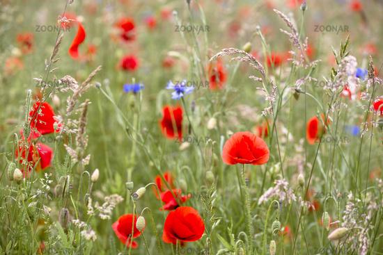 Flowering poppy on a meadow