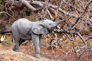 Junger Elefant im South Luangwa Nationalpark, Sambia, (Loxodonta africana) |  young Elephant at South Luangwa National Park, Zambia, (Loxodonta africana)
