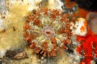 Sea Anemone,Telmatactis ternatana