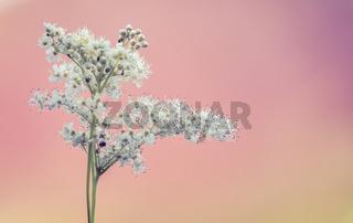 Delicate White Wildflowers