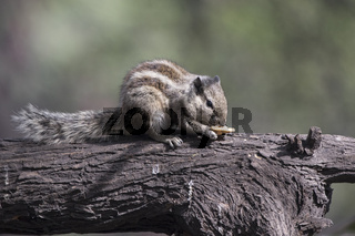 Indian palm squirrel that sits on a tree trunk and eats on a sunny winter day