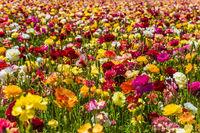 Garden buttercups- ranunculus