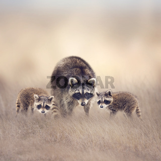 Raccoon family in the grassland