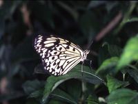 white tree nymph tropical butterfly on leaf