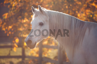 white stallion on glowing colorful autumn tree background