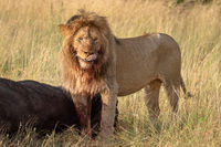 Blood-stained male lion stands by buffalo carcass
