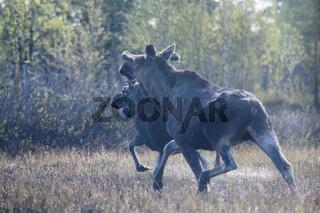 Moose running away through the swamp