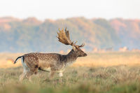 Fallow Deer, Dama dama, buck with antlers walking on the grass at the Eremitagesletten in Dyrehave, Denmark.