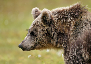 Close up Eurasian brown bear