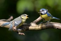 blue tit with a brancher