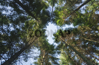 View to the tree tops of the coastal fir