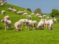 Sheeps on a dike of the Elbe River in Hetlingen, Haseldorfer Marsch, Schleswig Holstein, Germany, Europe