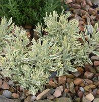Lavendel, Strauch-, Buntlaubig, Lavendula allardii