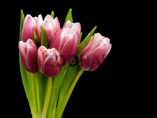 Beautiful pink tulip bouquet with water drops on it isolated on black background.