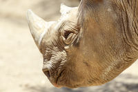 Black Rhino Head Details