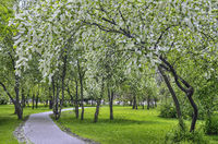 Urban spring landscape in city park with blossoming bird cherry trees