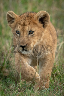 Lion cub crosses long grass lifting paw