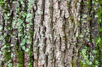 mossy and cracked bark on old trunk of maple tree
