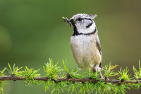 European crested tit sitting on a green branch with caterpillars in beak