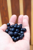Hands full with frozen aronia berries