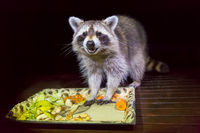 Tame raccoon with food in dark night