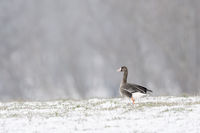Greater White-fronted Goose * Anser albifrons * in winter on a snow covered meadow