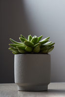 In a white flowerpot, the Echeveria plant on a marble table