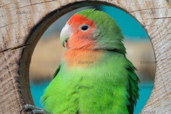 Lilian's lovebird green exotic parrot bird