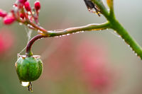 Drop of dew on a flower
