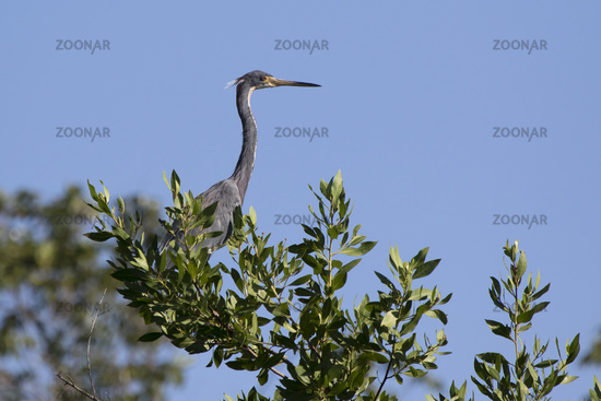 tricolored heron that sits on top of a large bush by the lake