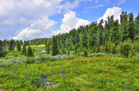 Summer landscape in Altai mountains with creek, alpine meadow and coniferous forest