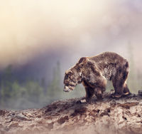 Brown Bear walking on the rocks