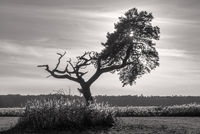 Wieck - The tree in the pasture