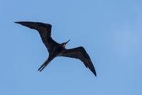 Frigate Bird, Fregatidae, Fregattvogel