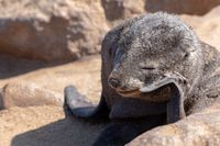 baby brown seal in Cape Cross, Namibia