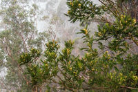 Bäume im Nebel auf der Insel Madeira, Portugal