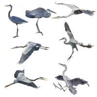 Great Blue Herons isolated on white