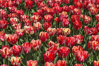 Tulip flowers (Tulipa Spryng Break), Bollenstreek, Netherlands