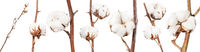 collection of dried twigs of cotton plant isolated