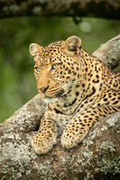 Close-up of leopard lying on lichen-covered branch