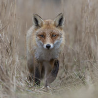 Red Fox * Vulpes vulpes * walking on a fox path through high, dry reed grass, frontal shot
