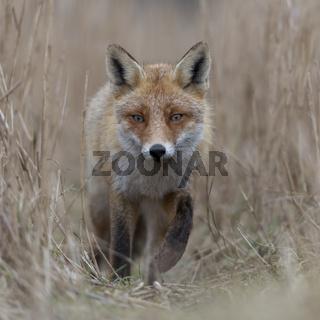 Fuchspass im Schilf... Rotfuchs * Vulpes vulpes *