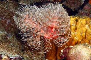 Magnificent Tube Worm, Protula bispiralis