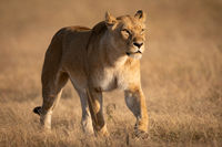 Lioness walking on short grass looking ahead