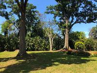 Very old trees in Royal Botanic King Gardens, Kandy ,Sri Lanka.